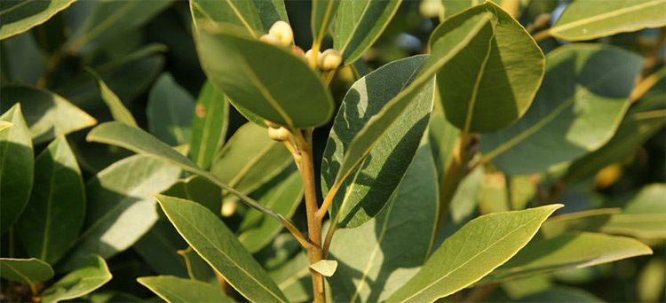 Bay Laurel Essential Oil (Laurel Leaf)