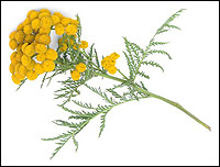Image result for blue tansy plant