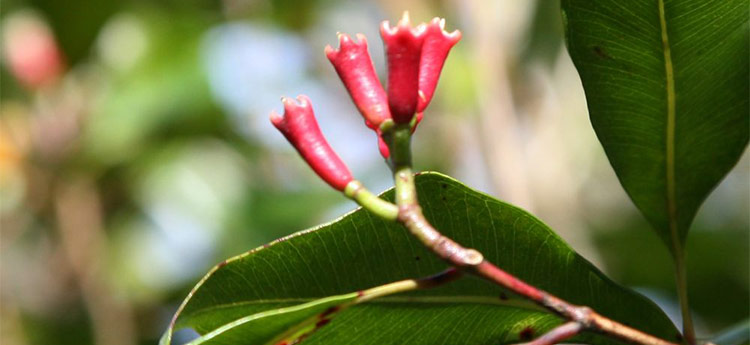 Clove Bud Essential Oil Uses and Benefits | AromaWeb
