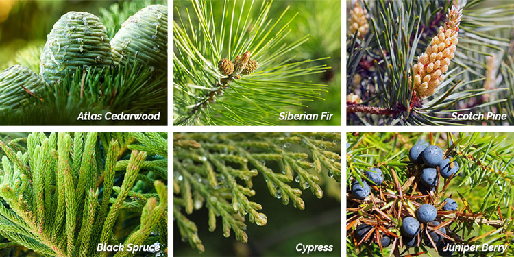 Collage of Conifer Essential Oil Photos