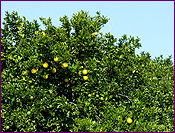 Grapefruit Orchard