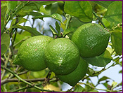 Limes growing on tree