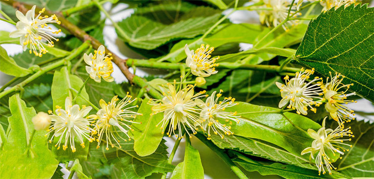 Linden Blossom Absolute and CO2 Extract