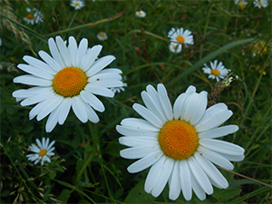 Roman Chamomile Essential Oil Uses And Benefits Aromaweb