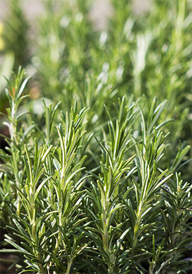 Rosemary Essential Oil Profile