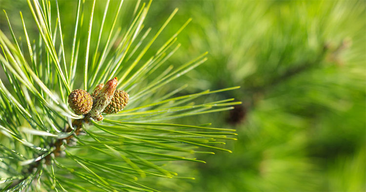 Siberian Fir Essential Oil