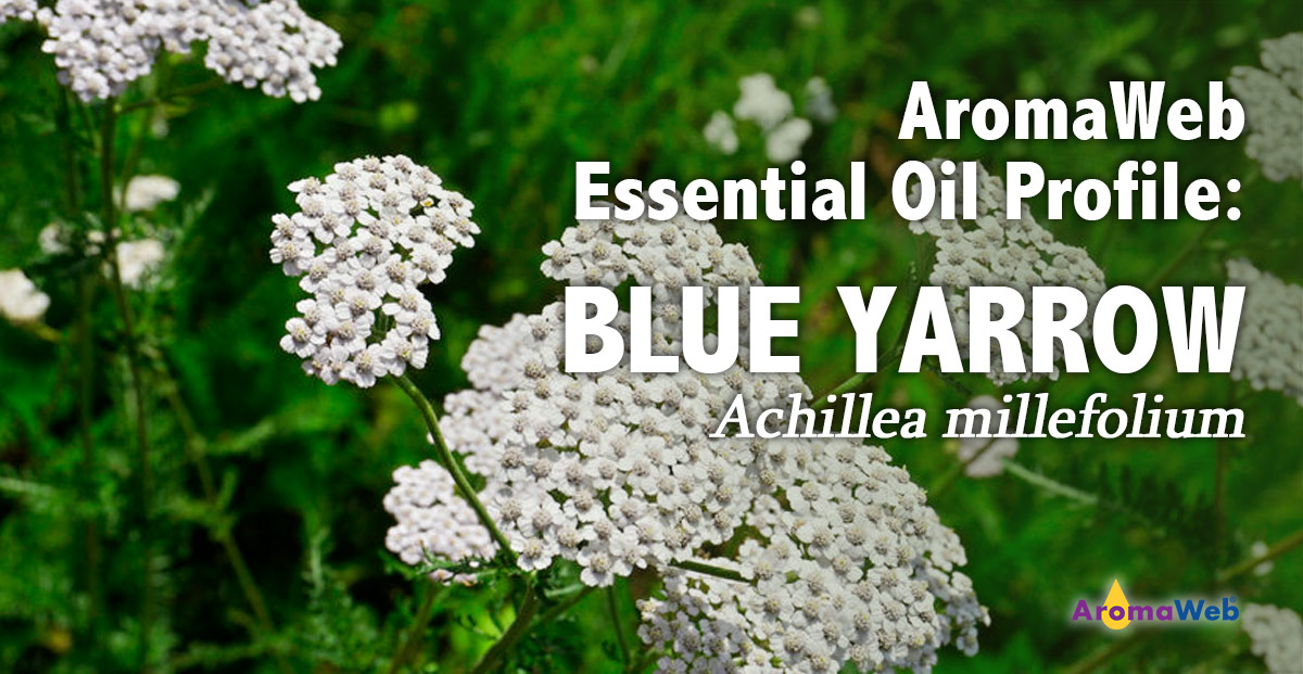 Yarrow Essential Oil Uses and Benefits | AromaWeb