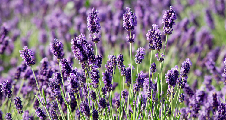 Essential Oils for Spring