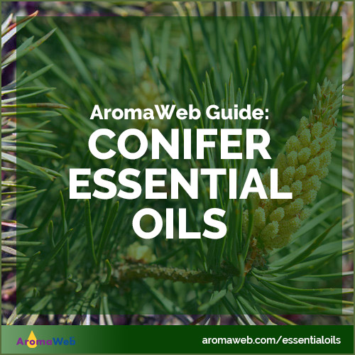 Guide to Conifer Essential Oils