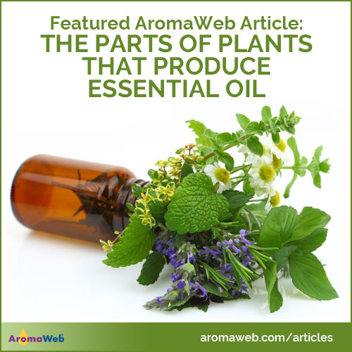 The Parts of Plants That Produce Essential Oils