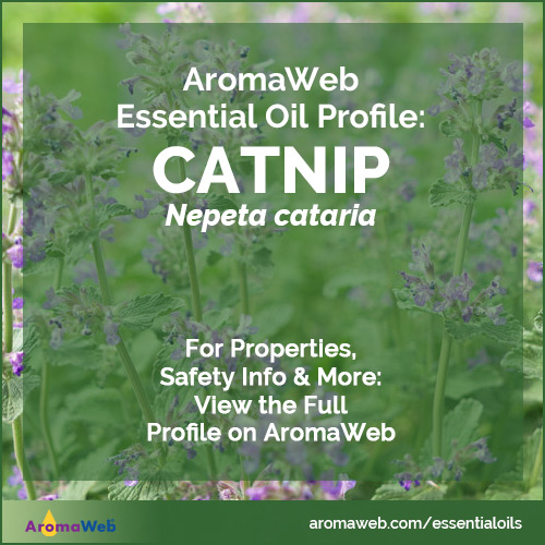 Catnip Essential Oil Profile