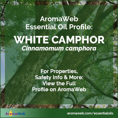 White Camphor Essential Oil Uses and Benefits | AromaWeb